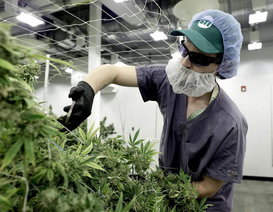 HOLYOKE, MA - JANUARY 31: Jonathan Whitley-Lederman works at the Green Thumb Industries cultivation center in Holyoke, MA on Jan. 31, 2019. Green Thumb Industries, a Chicago-based cannabis company, invested $10 million to create a cultivation center in a former Holyoke mill building. Massachusetts is home to dozens of old textile and paper mills that once thrived, making the state a manufacturing powerhouse. By the 1950s, those industry jobs moved south and the mill buildings deteriorated from decades of neglect. Many have been repurposed as apartments or smaller businesses. Some have been torn down. But one unlikely industry is bringing them back: cannabis. Since the legalization of medical and recreational cannabis in 2012 and 2016, cannabis companies have been buying and leasing these relics of industrialization. There are a few reasons why: quicker profits, availability, and the negative stigma that surrounds weed. (Photo by Jonathan Wiggs/The Boston Globe via Getty Images)