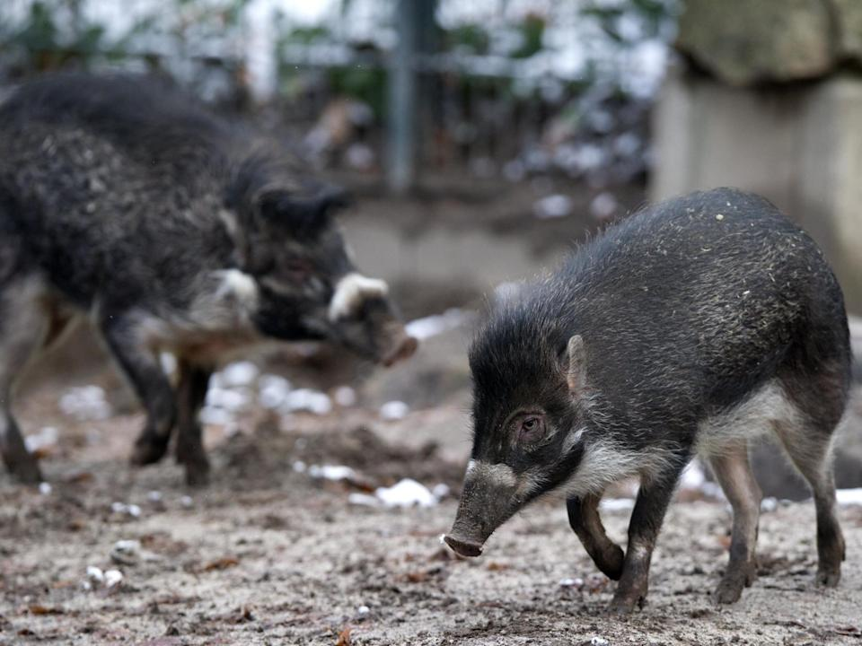 Visayan warty pigs are an endangered species from the Philippines: AFP/Getty Images