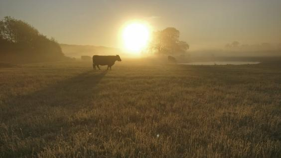 A Welsh black cow on restored water meadow at Somerleyton in Suffolk (WildEast)