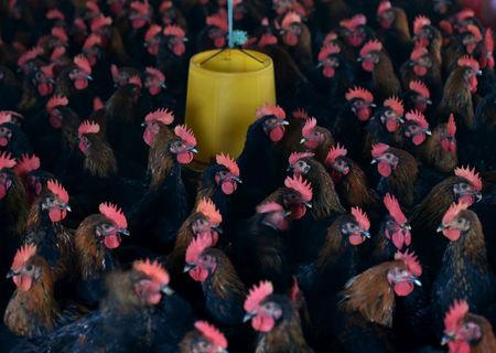 FILE PHOTO: Chickens are seen at a poultry farm on the outskirts of Hefei, Anhui province, November 20, 2015. REUTERS/Stringer/File Photo