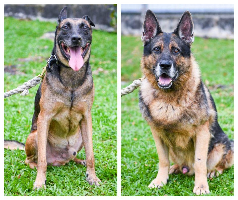 Eleven-year-old Roy (left) and nine-year-old Jersey are also up for adoption. — Picture via Facebook