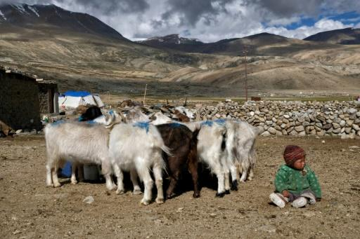Pashmina, a highly coveted cashmere wool, comes from the fine undercoat of a breed of Himalayan goat
