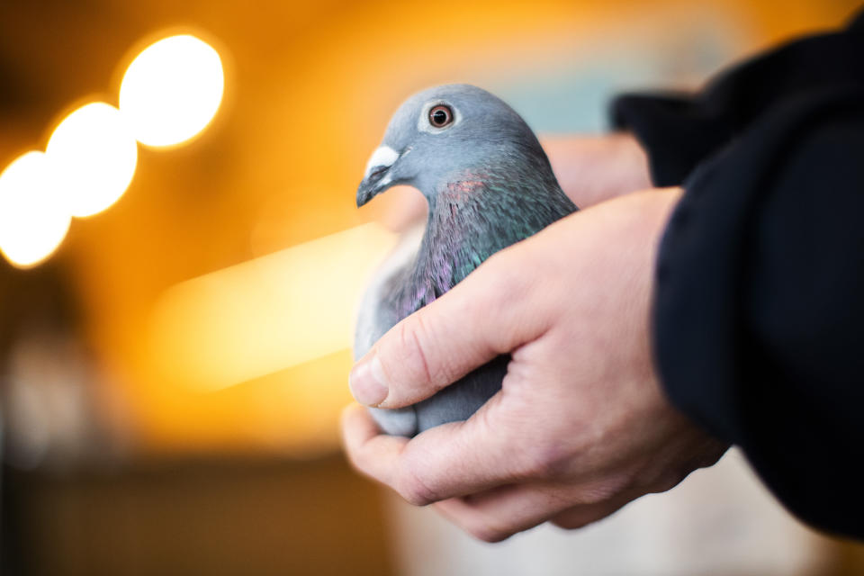 An employee of Pipa, a Belgian auction house for racing pigeons, shows a two-year old female pigeon named New Kim after an auction in Knesselare, Belgium, Sunday, Nov. 15, 2020. A pigeon racing fan has paid a world record 1.6 million euros for the Belgian-bred bird, New Kim, in the once-quaint sport that seemed destined for near extinction only a few years back, people pay big money for the right bird. (AP Photo/Francisco Seco)