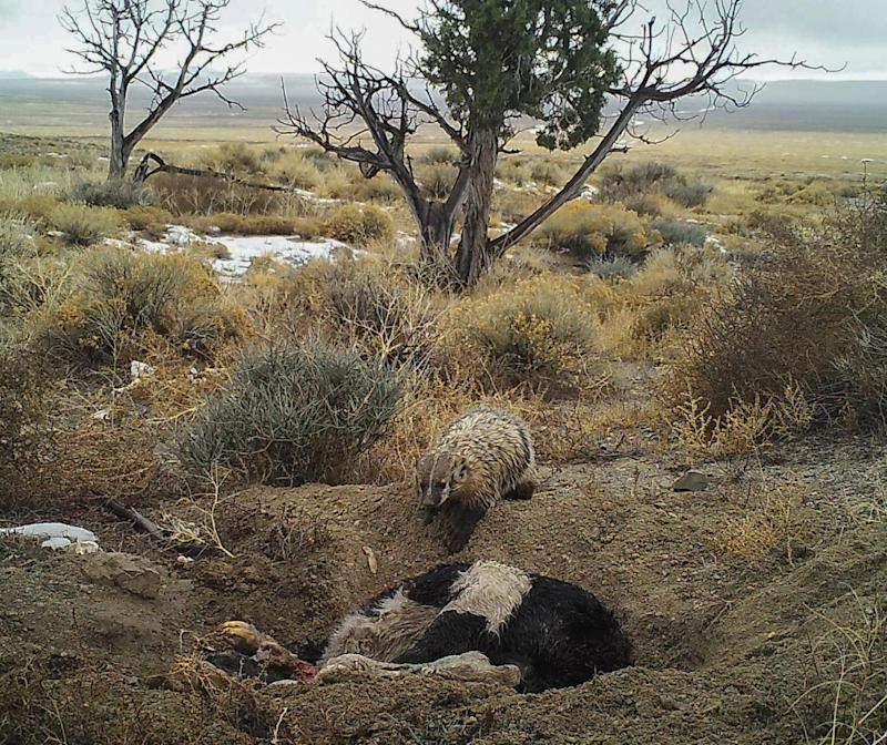 The badger dug a large hole around the body, then covered it over (Evan Buechley)