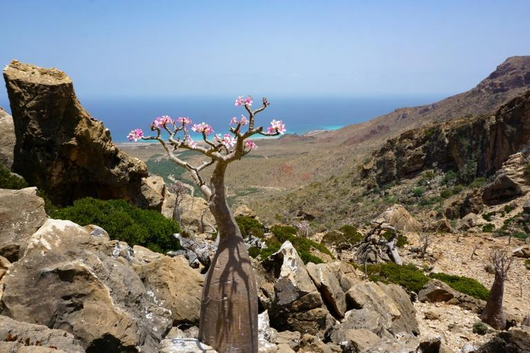 A flowering bottle tree, or desert rose, on the Yemeni island of Socotra, part of the flora found only in the Indian Ocean archipelago