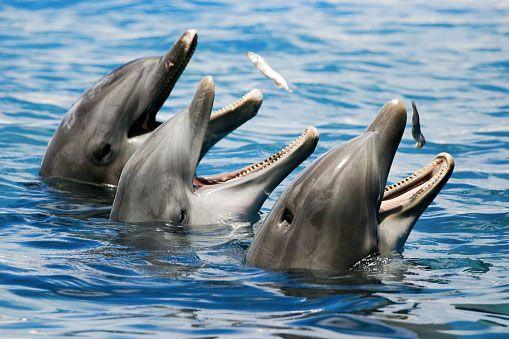 Scientists have recorded two Black Sea bottlenose dolphins listening, talking to each other. Photo: Getty