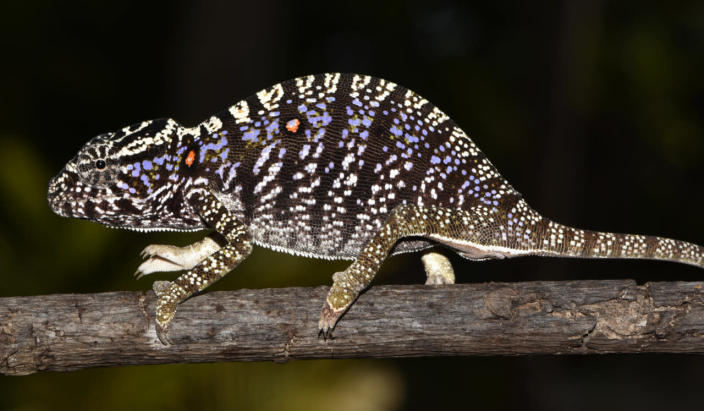 Scientists rediscover chameleon in Madagascar last seen 100 years ago