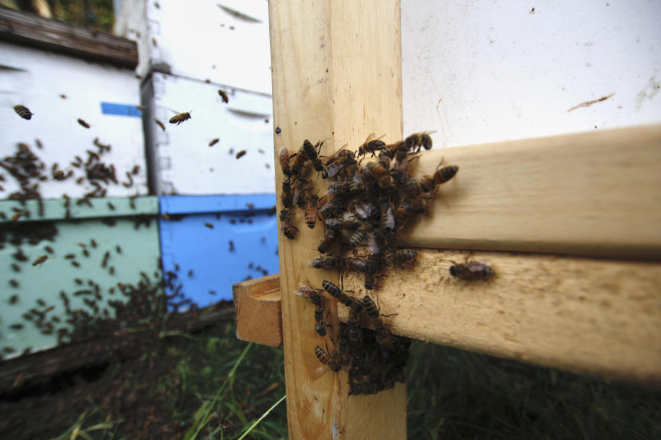 Honey bees gather outside their hives near Iola, Wis., on Wednesday, Sept. 23, 2020. The hives belong to beekeepers James Cook and Samantha Jones. The couple has worked with bees for several years but started their own business this year — and proceeded with plans even after the coronavirus pandemic hit. (AP Photo/Carrie Antlfinger)