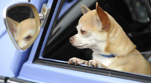 Drivers face hefty fines if their pet makes its way onto their lap while the vehicle is in motion. Picture: Getty/File