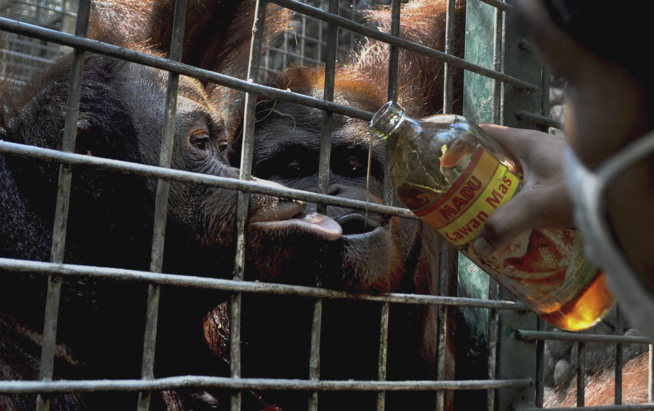 A keeper feeds honey to orangutans recently confiscated from an illegal owner at a rehabilitation center in Yogyakarta, Indonesia, Saturday, July 2, 2011. Orangutan populations in Indonesia's Borneo and Sumatra island are facing severe threats from habitat loss, illegal logging, fires and poaching. (AP Photo/Slamet Riyadi)