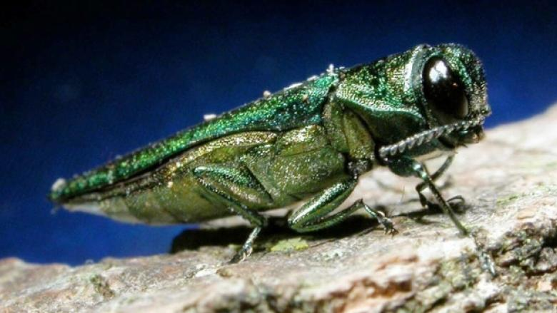 Emerald ash borer to drill $105M hole in Winnipeg's budget over 10 years