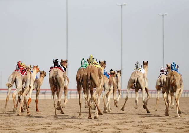 DUBAI, UNITED ARAB EMIRATES - APRIL 16: Camels race during Al Marmoom Heritage Festival at the Al Marmoom Camel Racetrack on April 16, 2014 in Dubai, United Arab Emirates. The festival promotes the traditional sport of camel racing within the region. (Photo by Francois Nel/Getty Images)