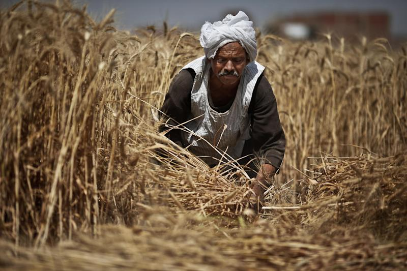 FILE - In this Monday, May 13, 2013 file photo, Rida Ibrahim, a 62-year-old Egyptian farmer, harvests wheat on his farm, in Qalubiyah, North Cairo, Egypt. Increasingly unaffordable subsidy programs pose a growing challenge across the Middle East and North Africa, with governments caught between demands by international lenders to scale back economically toxic handouts and fears of a popular backlash.(AP Photo/Hassan Ammar, File)