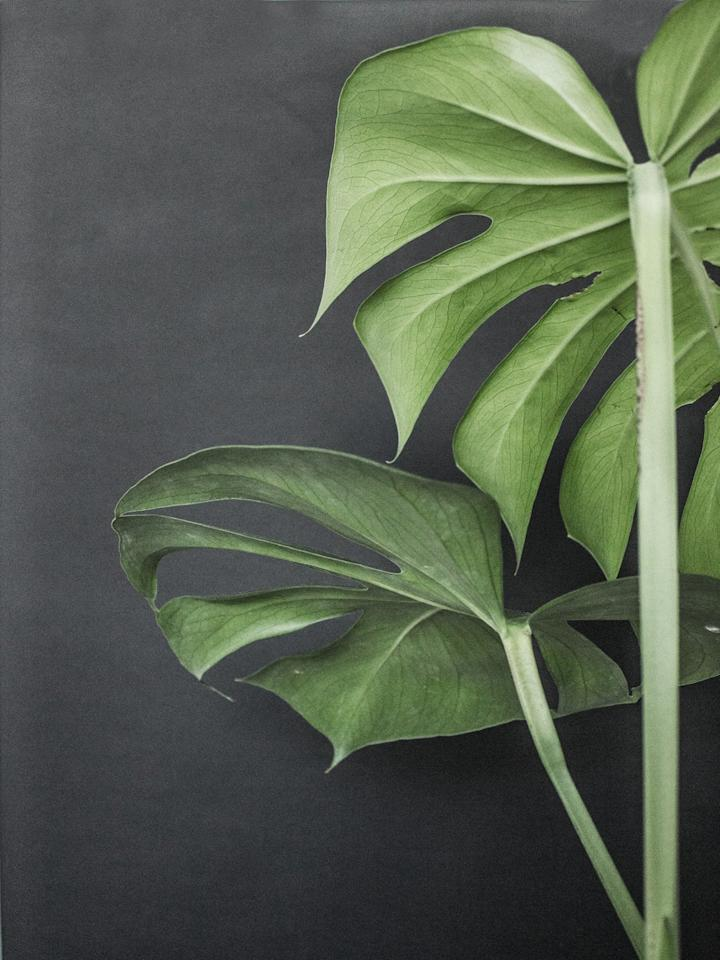 <p><strong>JH:</strong> Because monstera does hail from the tropics, it likes plenty of moisture in the air. Keep its leaves lush and green by boosting humidity levels with a small humidifier, growing it in a bright bathroom, or grouping it with other plants. (Houseplants release moisture into the air as they breathe, so creating a cute cluster of plants allows them to help humidify one another.)</p>