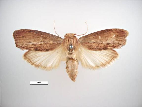 Moth with Ultrasonic Hearing Discovered
