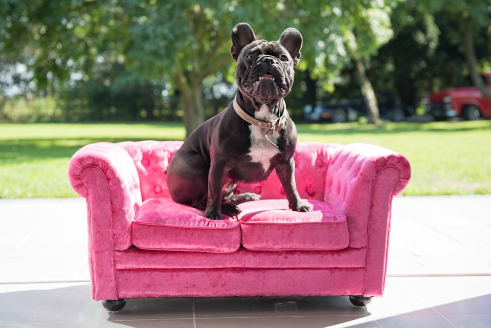 A French Bulldog sits on a luxury pink crushed velvet sofa looking out into the garden on a sunny day