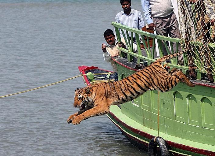 Forestry officials watch as a rescued tigress leaps into the Sundarikati river after being released at Sunderbans, in February 2008 (AFP Photo/Deshakalyan Chowdhury)