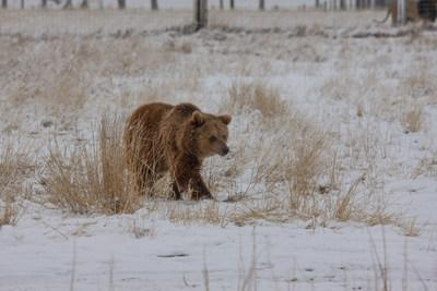 One of ten former zoo Grizzly Bears enjoys her first steps of freedom in a natural, large-acreage habitat at The Wild Animal Sanctuary in Colorado.
