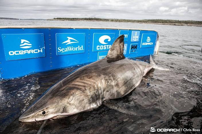 """OCEARCH named the shark Nukumi in honor of a """"legendary wise old grandmother figure of the Native American Mi'kmaq people."""""""