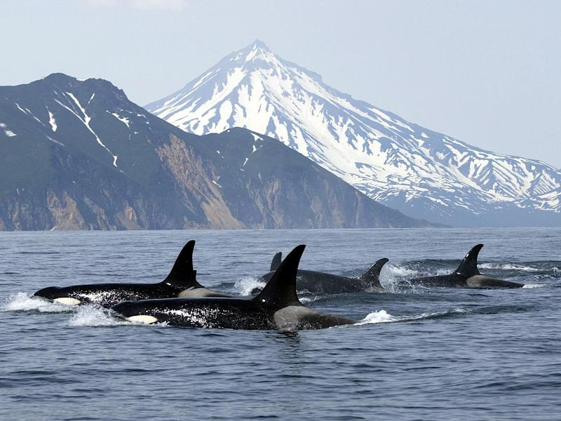 Killer whales tend to travel in packs of seven or more: Getty Images/iStockphoto