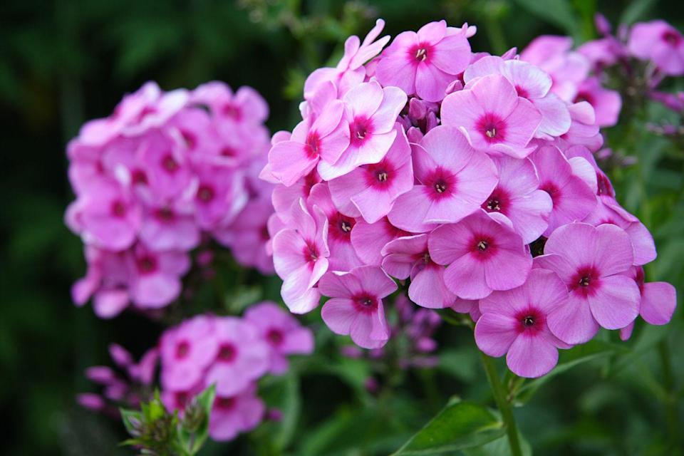"""<p>These star-shaped flowers come in a variety of bright colors. Easy to maintain, these fragrant flowers attract butterflies and hummingbirds.</p><p><strong>Bloom seasons: </strong>Spring and summer</p><p><a class=""""link rapid-noclick-resp"""" href=""""https://www.americanmeadows.com/perennials/phlox/phlox-blue-flame"""" rel=""""nofollow noopener"""" target=""""_blank"""" data-ylk=""""slk:SHOP PHOLOX"""">SHOP PHOLOX</a></p>"""