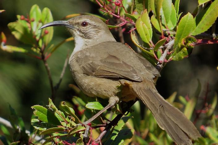 A thrasher rests on a glossy green toyon bush.