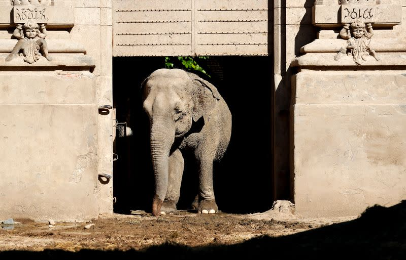 Asian elephant Mara walks out of her enclosure at the former city zoo now known as Ecopark in Buenos Aires