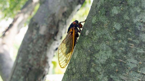 PHOTO: A cicada climbs on a tree trunk in an undated stock image. (STOCK IMAGE/Joseph Squillante/Getty Images)