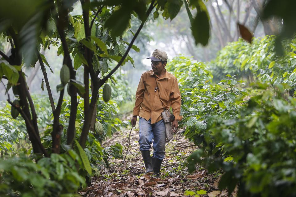"""Juan Robleto, 46, works at the """"Santa Francisca"""" farm where coffee rust led to the cutting and burning of coffee trees and where they are now growing other varieties of coffee and cocoa, as a result of the loss of land suitable for planting coffee in Nicaragua, in Las Nubes, El Crucero, 30 km from Managua, on October 16, 2017. Coffee crops in Latin America, one of the most appreciated products in the region, could become victims of climate change. A study by Latin American scientists projected that the increase in temperature and changes in rainfall would affect between 73% and 88% of the land suitable for grain production in the region. / AFP PHOTO / Inti OCON        (Photo credit should read INTI OCON/AFP via Getty Images)"""