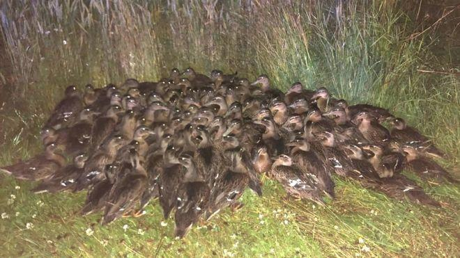 A flock of around 100 ducks which were found huddled on a roadside in Scotland. (Police Scotland).