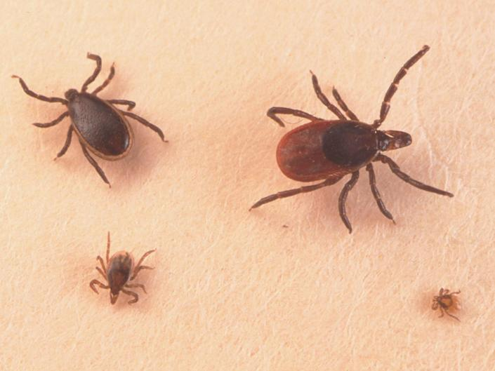 Adult male, female, larva and nymph ticks (clockwise) can spread disease: Getty Images