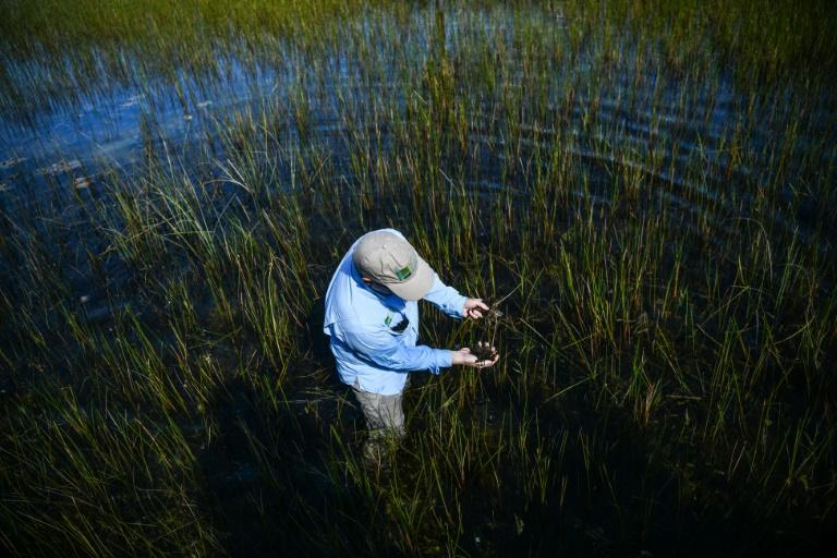 Chief Science Officer of The Everglades Foundation Steve Davis, collects weeds and algae from Everglades National Park, Florida on September 30, 2021 (AFP/CHANDAN KHANNA)