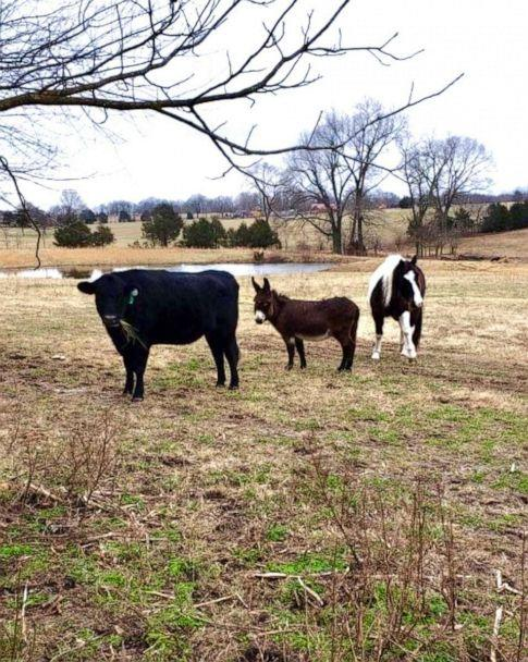 PHOTO: Violet, Raz and Molly on a farm in Arkansas. Violet's owners say that Molly the cow and Raz, a blind horse would not be alive today if it wasn't for Violet giving them a second chance at life. (Robbin Plumlee)