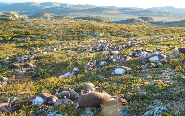 Over 300 reindeer killed by freak lightning strike in Norway