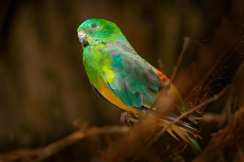 red-rumped parrot (Ondrej Prosicky/ iStock/ Getty Images Plus)