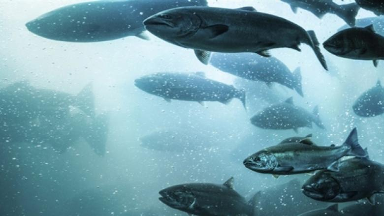 B.C. farmed salmon gets 'good alternative' rating in U.S.