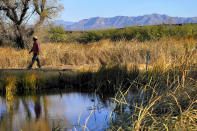 Myles Traphagen, Borderlands Program Coordinator for Wildlands Network, walks through a marsh area as the top of a newly erected border wall cuts through the San Bernardino National Wildlife Refuge, Tuesday, Dec. 8, 2020, in Douglas, Ariz. Construction of the border wall, mostly in government owned wildlife refuges and Indigenous territory, has led to environmental damage and the scarring of unique desert and mountain landscapes that conservationists fear could be irreversible. (AP Photo/Matt York)