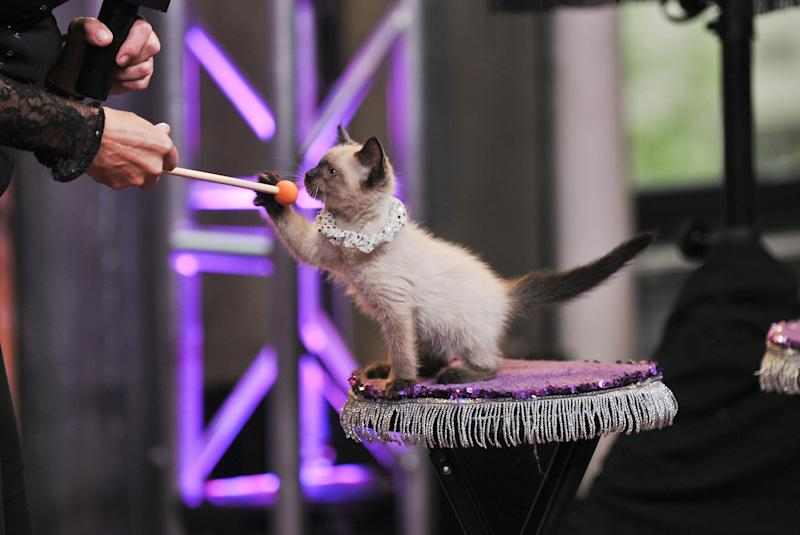 A kitten performs with The Amazing Acro-Cats in July 2015. (Jenny Anderson via Getty Images)