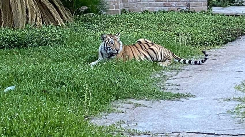 Image: A tiger rests on grass near a sidewalk in a neighborhood in Houston. (Courtesy Mohammed Syed)