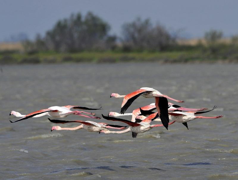 The France Nature Environnement association filed a complaint for damage to a protected species after a pilot sparked a panic among a huge flock of pink flamingos in the Camargues region of France
