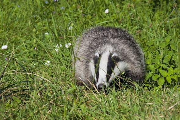 Badgers attacked and hit with spades in the Peak District