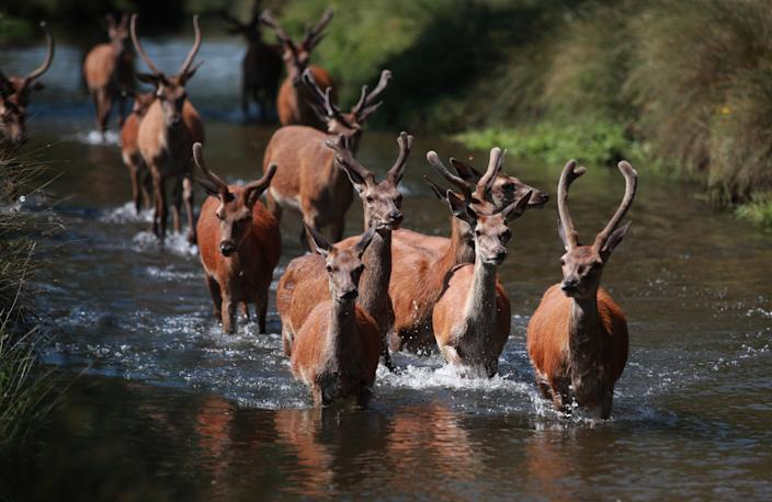 Deer cool off in the water in Richmond Park, London, as Thursday could be the UK's hottest day of the year with scorching temperatures forecast to rise even further.