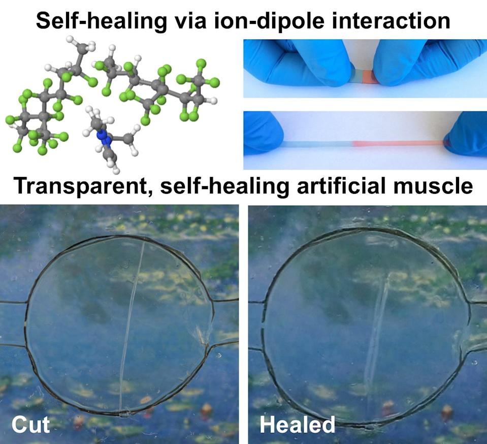 """The rubber-like material can stretch to a staggering 50 times its original length, and can """"heal"""" in a span of just 24 hours after being cut."""