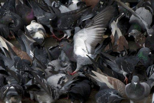 File photo shows pigeons eating on a street in Hong Kong. Hong Kong is particularly nervous about infectious diseases after an outbreak of the deadly respiratory disease SARS in 2003 killed 300 people in the city