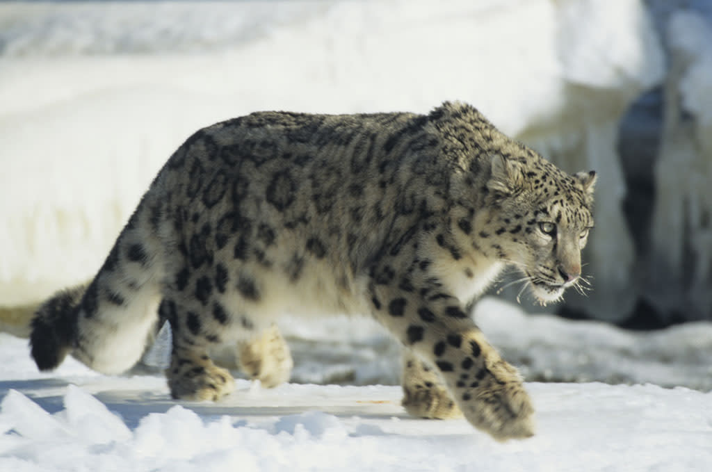 Snow LeopardThese rare, beautiful gray leopards live in the mountains of Central Asia. They are insulated by thick hair, and their wide, fur-covered feet act as natural snowshoes.(Photo is from Snow Leopard of Afghanistan ? Sun at 8)