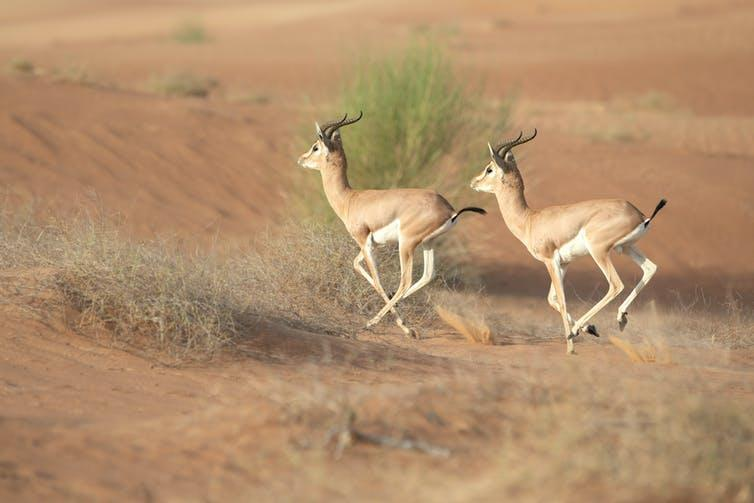 Two deer-like animals with long horns gallop across a desert landscape.