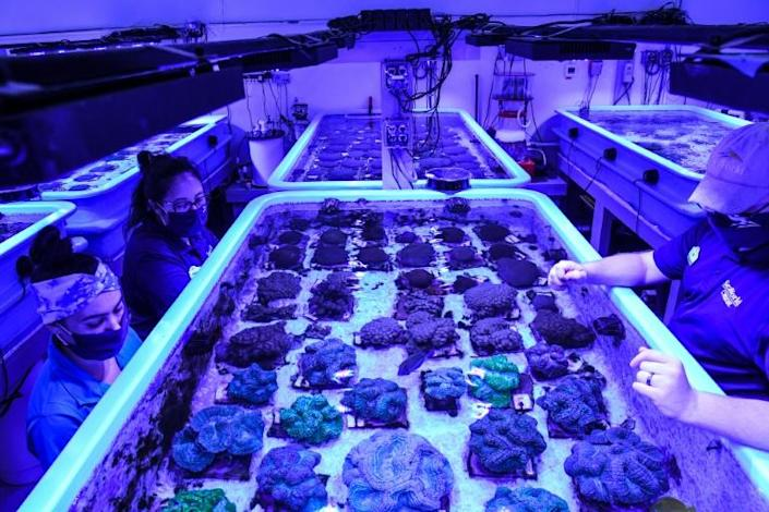 Rescued corals are kept in a tank as staff members work on restoring Florida's coral reef at the Florida Coral Rescue Center in Orlando (AFP/CHANDAN KHANNA)