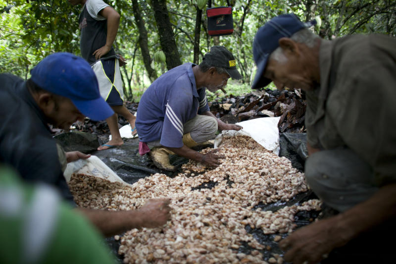 In this photo taken Nov. 15, 2012, grower Pablo Planchar, center, and workers gather the pulp and seeds they scooped from cacao pods into sacks, at a cacao plantation in Cano Rico, Venezuela. Cacao pods that ripen in the forest-shaded plantations of Venezuela are transformed into some of the world's finest chocolate. The crop is converted into gourmet bars and exported to the United States, Europe and Japan by the country's premier chocolate maker, Chocolates El Rey, or The King. As the company has won international acclaim, it has also had to cope with a host of obstacles brought on by President Hugo Chavez's government. El Rey used to go through just four bureaucratic steps to export a shipment. Now the list of requirements has grown to more than 50. (AP Photo/Ariana Cubillos)