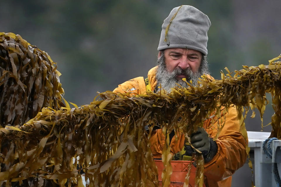 Ken Sparta cuts kelp from a line during the spring harvest of farm-raised seaweed off the coast of Cumberland, Maine, Thursday, April 29, 2021. Maine's seaweed farmers are in the midst of a spring harvest that is almost certain to break state records(AP Photo/Robert F. Bukaty)