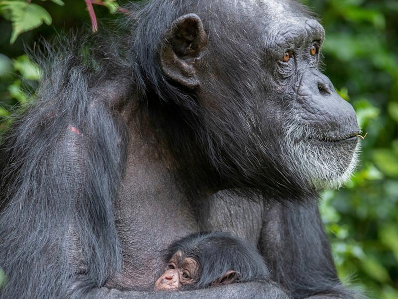 There are around 200,000 chimpanzees left in the wild and numbers are projected to drop by 80 per cent by 2050 (PA)